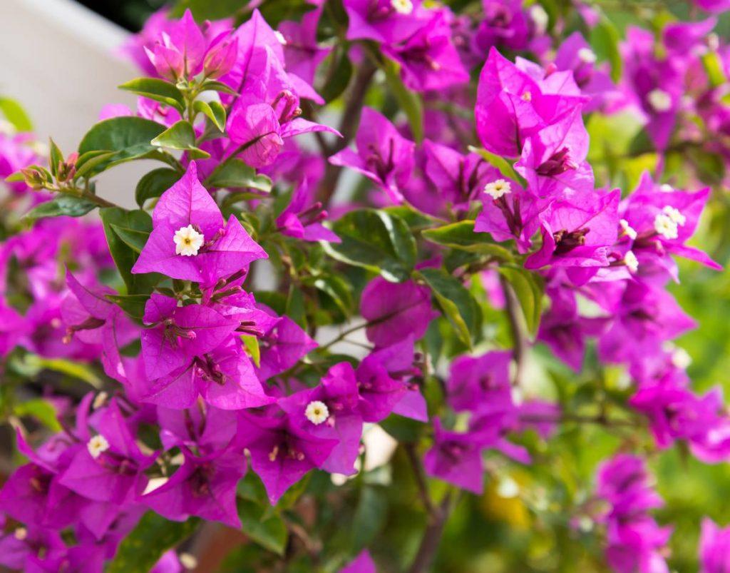 bougainvillier violette